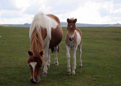 Dartmoor Pony,