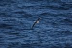 Albatross on Cook Strait