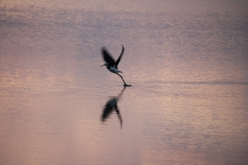 Pied Stilt taking off, Kawau Bay April 25th, 2014