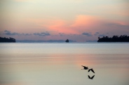 Pied Stilts, dawn in Kawau Bay. May 2014